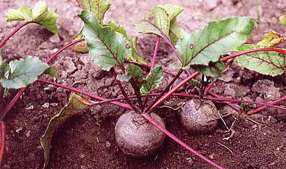 cvekla beta vulgaris